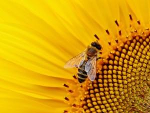 апилак маточное молочко пчел